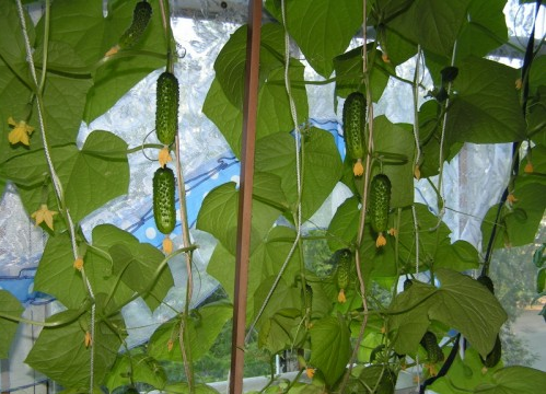 Выращивание корнишонов в домашних условиях 5