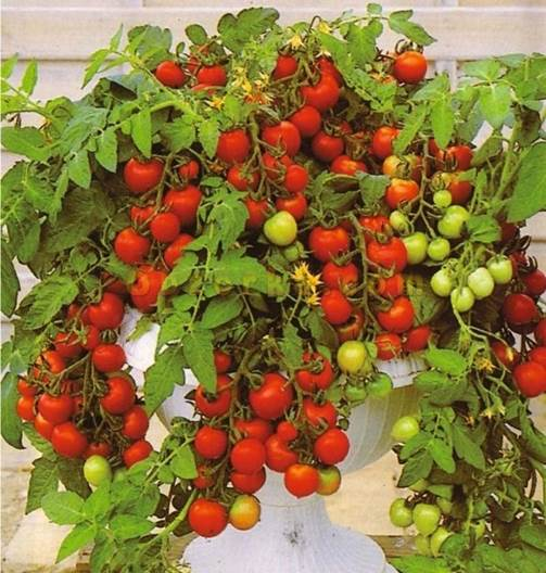 Горшечные помидоры выращивание 7