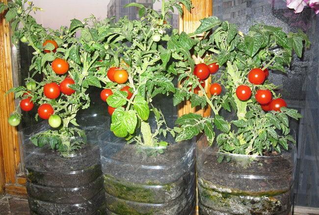 Балконное чудо помидоры выращивание в теплице 26