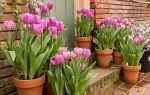 Выращиваем тюльпаны в горшках на балконе: тонкости и секреты