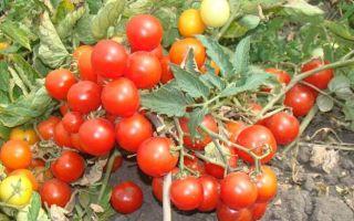 «Балконное Чудо» или как вырастить помидоры в домашних условиях