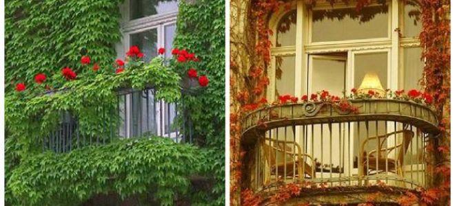 Выращивание девичьего винограда на балконе