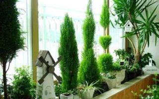 Выращивание туи на балконе зимой