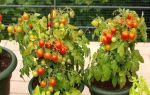 Выращивание балконных помидор