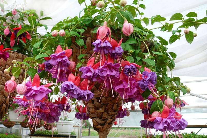 Ампельные цветы для балкона - фуксия