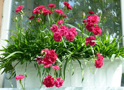 Балконные цветы – гвоздики