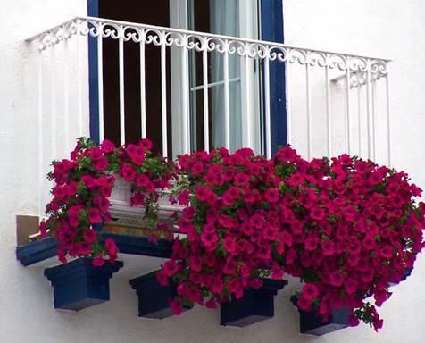 Растения для балкона - петуния