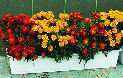 Цветы для балкона солнечной стороны - бархатцы