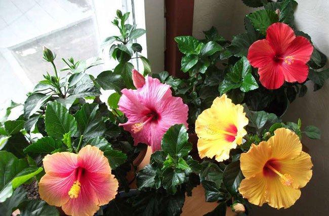 Гибискус цветет на балконе
