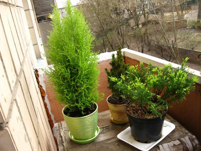 Туя на балконе зимой: морозоустойчивые растения для балкона.
