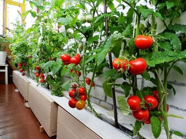 Плодоносящие томаты, выращиваемые в ящиках