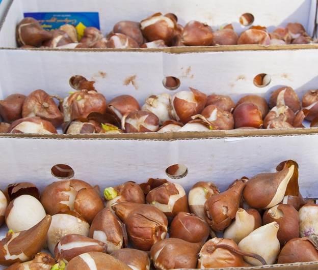 Правильное хранение луковиц