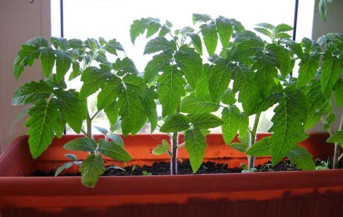 Рассада помидоров Балконное Чудо