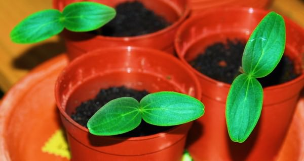 Вариант высадки семян в горшки