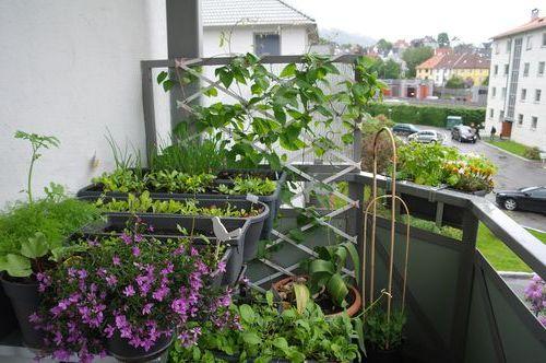 Выращивание зелени на открытой лоджии