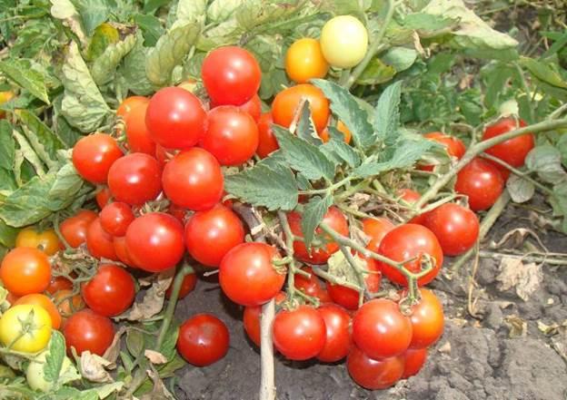 Залог успеха – правильно выбранные семена помидоров
